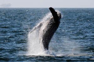 valpak.com_Humpback-whale-watching